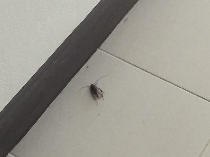 Afbeelding van een kakkerlak in Thailand.