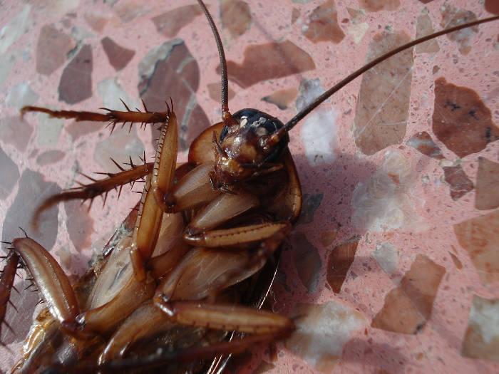 Afbeelding van een dode kakkerlak.
