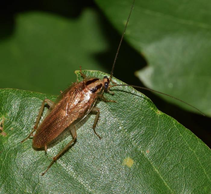 Afbeelding van een Duitse kakkerlak.