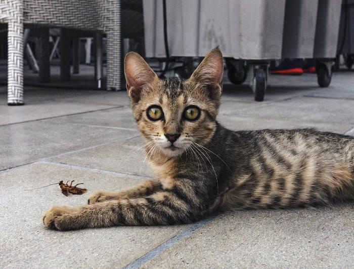 Foto van een kat die een kakkerlak dood heeft gemaakt.